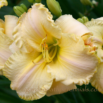 Daylily - Origami Pink Wink