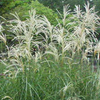 Variegated japanese silver grass garden path perennials for Japanese mounding grass