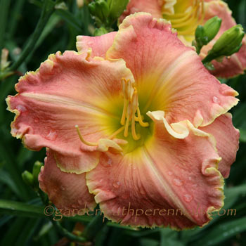Daylily - Fluent in French