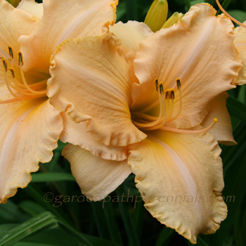 Daylily - Evelyn Lela Stout*
