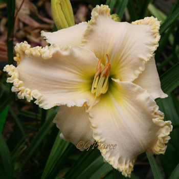 Daylily - Brown's Ferry Royalty*
