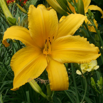 Daylily - Big Birds Friend*