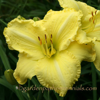 Daylily - Simple Joy