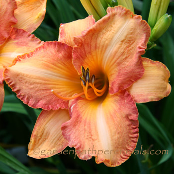 Daylily - Brickle Road