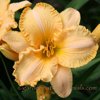 Daylily - Harvest Moonglow